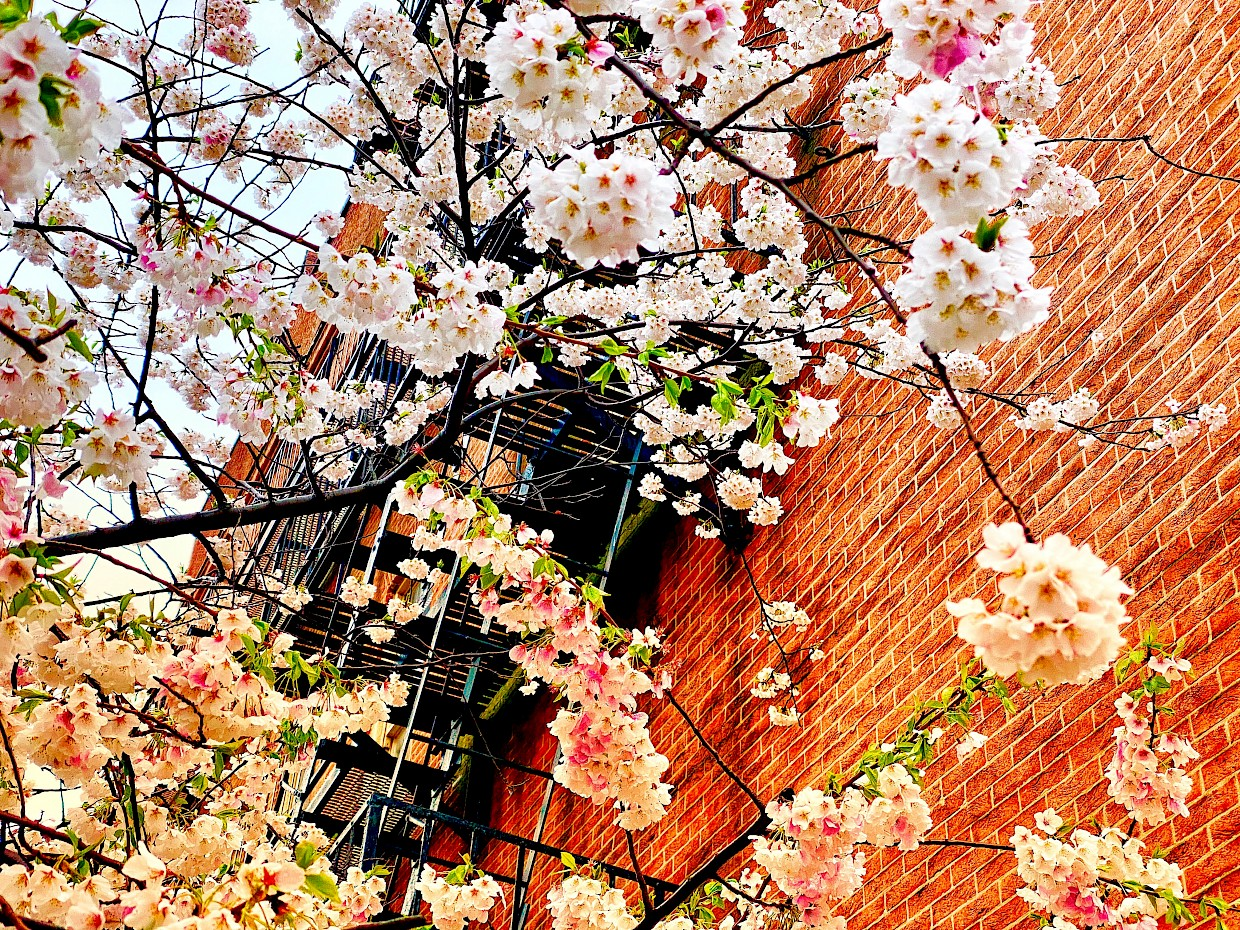 Tree blossoms signal the start of spring